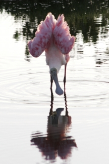 Roseate Spoonbill with Pink Ballet Tutu