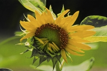 Bashful Sunflower