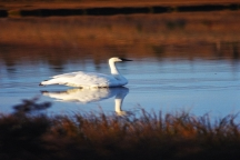 Classic Trumpeter Swan