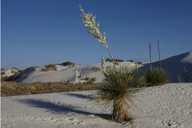 Yucca Plant at White Sands, N.M.