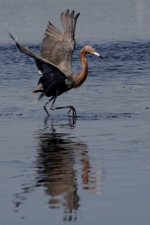 Reddish Egret on the Hunt