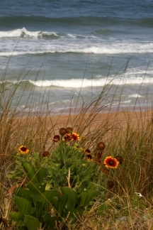 Gaillardia Daisies on the Beach
